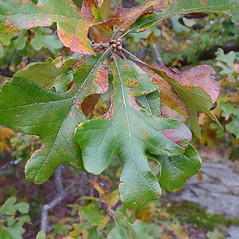 Leaves: Quercus stellata. ~ By Arthur Haines. ~ Copyright © 2020. ~ arthurhaines[at]wildblue.net