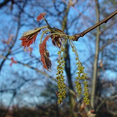 Flowers: Quercus velutina. ~ By Arthur Haines. ~ Copyright © 2021. ~ arthurhaines[at]wildblue.net