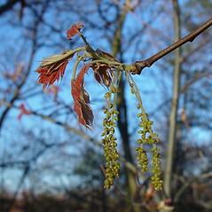 Flowers: Quercus velutina. ~ By Arthur Haines. ~ Copyright © 2020. ~ arthurhaines[at]wildblue.net