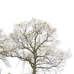 Plant form: Quercus velutina. ~ By Arieh Tal. ~ Copyright © 2020 Arieh Tal. ~ www.nttlphoto.com ~ Arieh Tal - www.nttlphoto.com