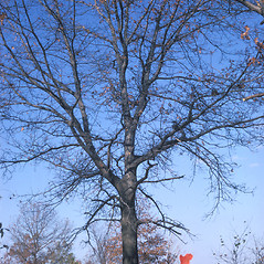 Plant form: Quercus velutina. ~ By Frank Bramley. ~ Copyright © 2021 New England Wild Flower Society. ~ Image Request, images[at]newenglandwild.org