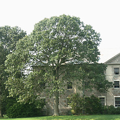 Plant form: Quercus velutina. ~ By Glenn Dreyer. ~ Copyright © 2020 Glenn Dreyer. ~ None needed