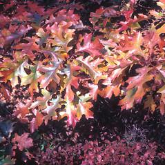 Leaves: Quercus velutina. ~ By Glenn Dreyer. ~ Copyright © 2020 Glenn Dreyer. ~ None needed