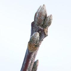 Winter buds: Quercus velutina. ~ By Arieh Tal. ~ Copyright © 2020 Arieh Tal. ~ www.nttlphoto.com ~ Arieh Tal - www.nttlphoto.com