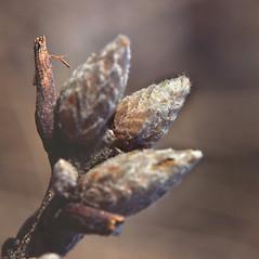 Winter buds: Quercus velutina. ~ By Carol Levine. ~ Copyright © 2020 Carol Levine. ~ carolflora[at]optonline.net