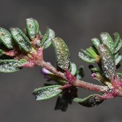 Stems: Frankenia pulverulenta. ~  ~ Copyright © 2020. ~