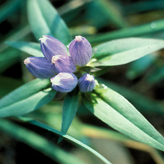 Flowers: Gentiana andrewsii. ~ By Lawrence Newcomb. ~ Copyright © 2021 New England Wild Flower Society. ~ Image Request, images[at]newenglandwild.org