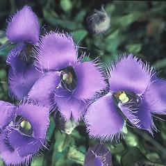 Flowers: Gentianopsis crinita. ~ By Catherine Heffron. ~ Copyright © 2020 New England Wild Flower Society. ~ Image Request, images[at]newenglandwild.org