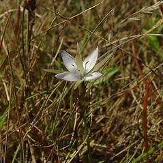 Flowers: Lomatogonium rotatum. ~ By Glen Mittelhauser. ~ Copyright © 2021 Glen Mittelhauser. ~ www.mainenaturalhistory.org