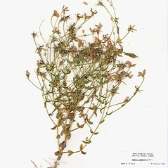 Plant form: Sabatia campestris. ~ By CONN Herbarium. ~ Copyright © 2020 CONN Herbarium. ~ Requests for image use not currently accepted by copyright holder ~ U. of Connecticut Herbarium - bgbaseserver.eeb.uconn.edu/