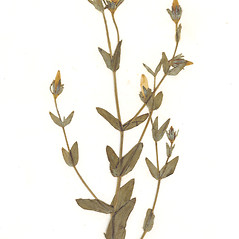 Leaves: Sabatia dodecandra. ~ By CONN Herbarium. ~ Copyright © 2019 CONN Herbarium. ~ Requests for image use not currently accepted by copyright holder ~ U. of Connecticut Herbarium - bgbaseserver.eeb.uconn.edu/