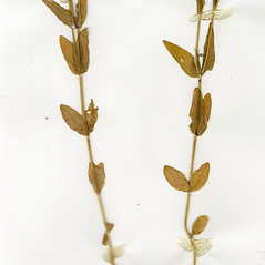 Leaves: Schenkia spicata. ~ By CONN Herbarium. ~ Copyright © 2020 CONN Herbarium. ~ Requests for image use not currently accepted by copyright holder ~ U. of Connecticut Herbarium - bgbaseserver.eeb.uconn.edu/