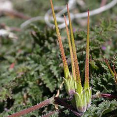 Fruits: Erodium cicutarium. ~ By Keir Morse. ~ Copyright © 2020 Keir Morse. ~ www.keiriosity.com ~ www.keiriosity.com