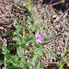 Plant form: Erodium cicutarium. ~ By Dale A. Zimmerman Herbarium - Western New Mexico University. ~ Copyright © 2019 Dale A. Zimmerman Herbarium - Western New Mexico University. ~ Dale A. Zimmerman Herbarium - Western New Mexico University ~ Dale A. Zimmerman Herbarium - Western New Mexico U.