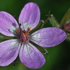 Flowers: Erodium moschatum. ~  ~ Copyright © 2021. ~