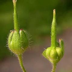 Fruits: Geranium molle. ~ By Ben Legler. ~ Copyright © 2019 Ben Legler. ~ mountainmarmot[at]hotmail.com ~ U. of Washington - WTU - Herbarium - biology.burke.washington.edu/herbarium/imagecollection.php