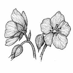Flowers: Geranium pratense. ~ By Elizabeth Farnsworth. ~ Copyright © 2020 New England Wild Flower Society. ~ Image Request, images[at]newenglandwild.org