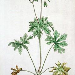 Plant form: Geranium pratense. ~ By William Curtis. ~  Public Domain. ~ None needed ~ Robert W. Freckmann Herbarium, U. of Wisconsin-Stevens Point