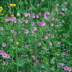 Plant form: Geranium pyrenaicum. ~ By Amadej Trnkoczy. ~ Copyright © 2021 Amadej Trnkoczy. ~ amadej.trnkoczy[at]siol.net ~ CalPhotos - calphotos.berkeley.edu/flora/