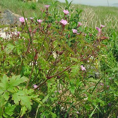 Plant form: Geranium robertianum. ~ By Glen Mittelhauser. ~ Copyright © 2021 Glen Mittelhauser. ~ www.mainenaturalhistory.org