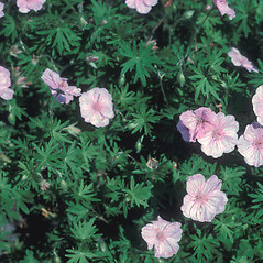 Flowers: Geranium sanguineum. ~ By John Lynch. ~ Copyright © 2020 New England Wild Flower Society. ~ Image Request, images[at]newenglandwild.org