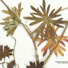 Stems: Geranium sanguineum. ~ By Derick B. Poindexter. ~ Copyright © 2020 Derick B. Poindexter. ~ dpoindex[at]live.unc.edu ~ Vascular Flora of Alleghany County, NC - vascularflora.appstate.edu/