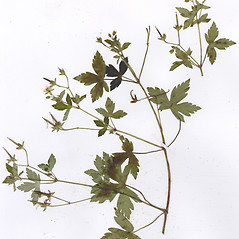 Plant form: Geranium thunbergii. ~ By CONN Herbarium. ~ Copyright © 2020 CONN Herbarium. ~ Requests for image use not currently accepted by copyright holder ~ U. of Connecticut Herbarium - bgbaseserver.eeb.uconn.edu/