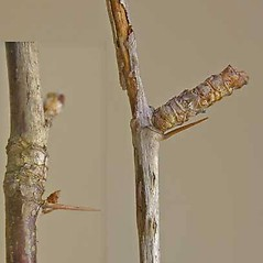 Bark: Ribes cynosbati. ~ By Andrew Nelson. ~ Copyright © 2021 Andrew Nelson. ~ andrew.nelson[at]oswego.edu   ~ New York Flora Atlas - newyork.plantatlas.usf.edu
