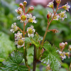 Flowers: Ribes glandulosum. ~ By Arthur Haines. ~ Copyright © 2020. ~ arthurhaines[at]wildblue.net