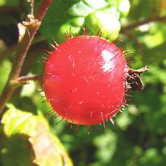Fruits: Ribes glandulosum. ~ By Donna Kausen. ~ Copyright © 2021 Donna Kausen. ~ 33 Bears Den, Addison, ME 04606