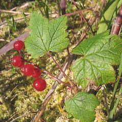 Fruits: Ribes glandulosum. ~ By Marilee Lovit. ~ Copyright © 2021 Marilee Lovit. ~ lovitm[at]gmail.com