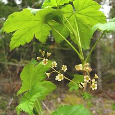 Plant form: Ribes glandulosum. ~ By Donna Kausen. ~ Copyright © 2021 Donna Kausen. ~ 33 Bears Den, Addison, ME 04606