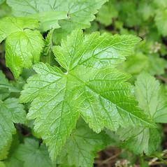 Leaves: Ribes glandulosum. ~ By Marilee Lovit. ~ Copyright © 2021 Marilee Lovit. ~ lovitm[at]gmail.com