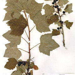 Plant form: Ribes nigrum. ~ By CONN Herbarium. ~ Copyright © 2021 CONN Herbarium. ~ Requests for image use not currently accepted by copyright holder ~ U. of Connecticut Herbarium - bgbaseserver.eeb.uconn.edu/