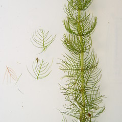 Leaves: Myriophyllum sibiricum. ~ By Donald Cameron. ~ Copyright © 2020 Donald Cameron. ~ No permission needed for non-commercial uses, with proper credit