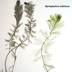 Comparison: Myriophyllum sibiricum. ~ By Donald Cameron. ~ Copyright © 2020 Donald Cameron. ~ No permission needed for non-commercial uses, with proper credit