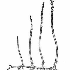Plant form: Myriophyllum tenellum. ~ By Elizabeth Farnsworth. ~ Copyright © 2020 New England Wild Flower Society. ~ Image Request, images[at]newenglandwild.org