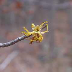Flowers: Hamamelis virginiana. ~ By Donald Cameron. ~ Copyright © 2020 Donald Cameron. ~ No permission needed for non-commercial uses, with proper credit