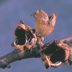 Fruits: Hamamelis virginiana. ~ By Adelaide Pratt. ~ Copyright © 2021 New England Wild Flower Society. ~ Image Request, images[at]newenglandwild.org