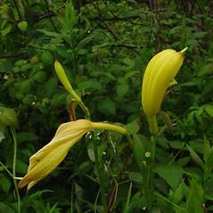 Flowers: Hemerocallis lilioasphodelus. ~ By Glen Mittelhauser. ~ Copyright © 2020 Glen Mittelhauser. ~ www.mainenaturalhistory.org