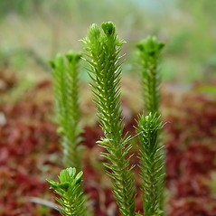 Vegetative leaves: Huperzia selago. ~ By Arthur Haines. ~ Copyright © 2020. ~ arthurhaines[at]wildblue.net