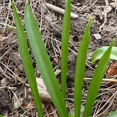 Leaves: Chionodoxa luciliae. ~ By Jill Weber. ~ Copyright © 2021 Jill Weber. ~ jillweber03[at]gmail.com
