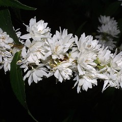 Flowers: Deutzia scabra. ~ By Steven Baskauf. ~ Copyright © 2019 CC-BY-NC-SA. ~  ~ Bioimages - www.cas.vanderbilt.edu/bioimages/frame.htm
