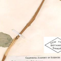 Bark: Hydrangea cinerea. ~ By William and Linda Steere and the C.V. Starr Virtual Herbarium. ~ Copyright © 2020 William and Linda Steere and the C.V. Starr Virtual Herbarium. ~ Barbara Thiers, Director; bthiers[at]nybg.org ~ C.V. Starr Herbarium - NY Botanical Gardens