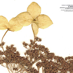 Fruits: Hydrangea cinerea. ~ By CONN Herbarium. ~ Copyright © 2020 CONN Herbarium. ~ Requests for image use not currently accepted by copyright holder ~ U. of Connecticut Herbarium - bgbaseserver.eeb.uconn.edu/