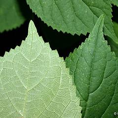 Leaves: Hydrangea cinerea. ~ By Keir Morse. ~ Copyright © 2020 Keir Morse. ~ www.keiriosity.com ~ www.keiriosity.com