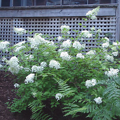 Plant form: Hydrangea paniculata. ~ By Grace Lilly. ~ Copyright © 2020 Grace Lilly. ~ No permission required for non-commercial uses