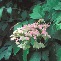 Flowers: Hydrangea quercifolia. ~ By Dorothy Long. ~ Copyright © 2021 New England Wild Flower Society. ~ Image Request, images[at]newenglandwild.org