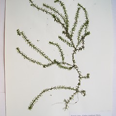 Plant form: Elodea canadensis. ~ By Donald Cameron. ~ Copyright © 2020 Donald Cameron. ~ No permission needed for non-commercial uses, with proper credit