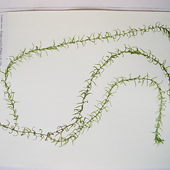 Plant form: Elodea nuttallii. ~ By Donald Cameron. ~ Copyright © 2020 Donald Cameron. ~ No permission needed for non-commercial uses, with proper credit
